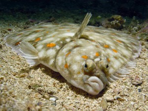 Flatfish pictured in WTF, Evolution?