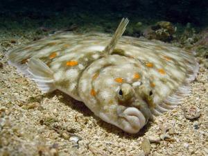 Flatfish pictured in WTF, Evolution?