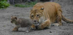 The liger and her liliger cub at the Novosibirsk Zoo in Russia