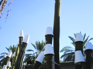 Someone thoughtfully put Styrofoam cups on these babies in front of our apartment. Cactuses need cold snap care, too.