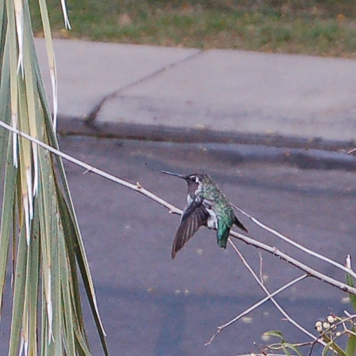 Nectar, our favorite little hummingbird! Callaghan took this photo from our living-room.