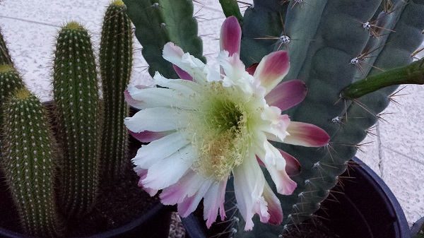 Absolutely captivating night-blooming cactus flower!