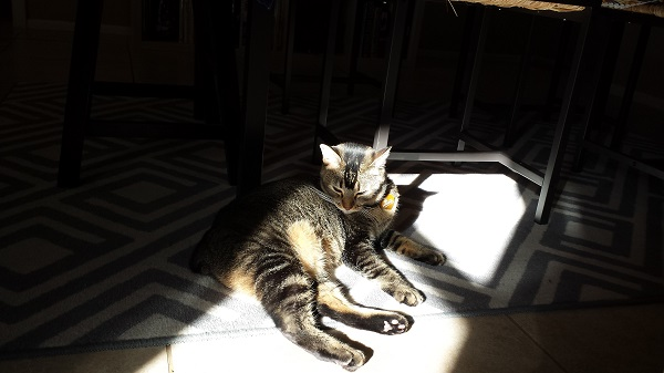 Nenette laying in a sunbeam, bathing her growing winter coat.