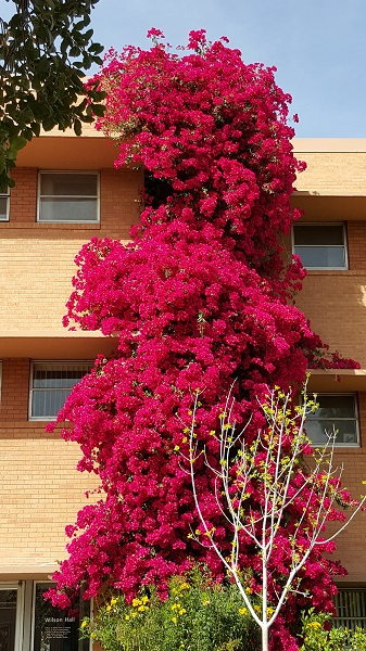 Towering wall of bougainvillea.