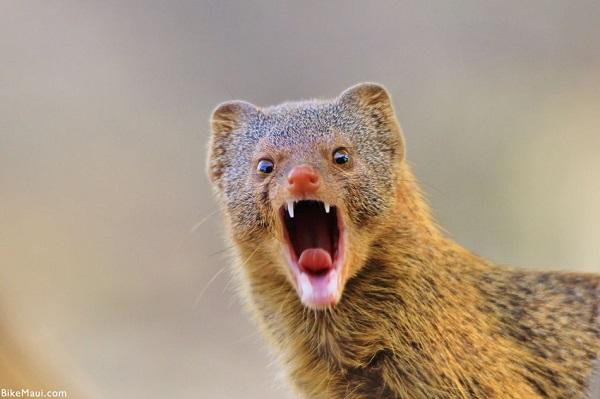 Portrait of a mongoose as stolen from bikemaui dot com