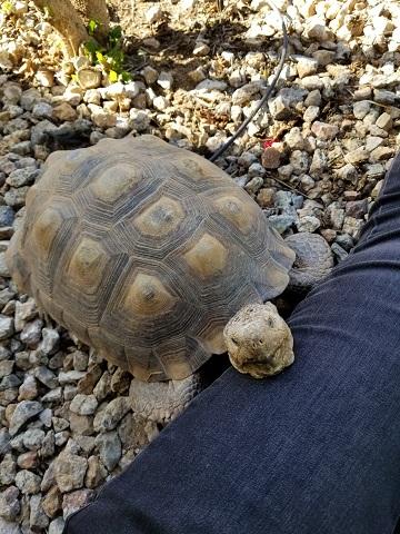 Shellebrating World Turtle Day! (Desert tortoise update